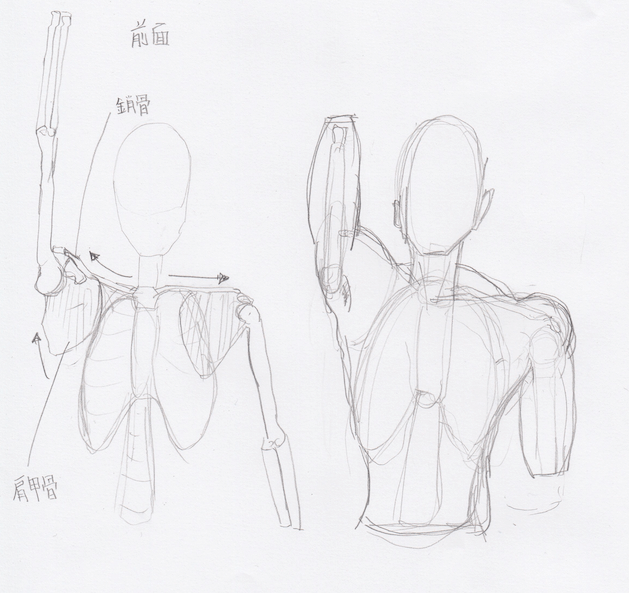 上肢:鎖骨の上がり具合2