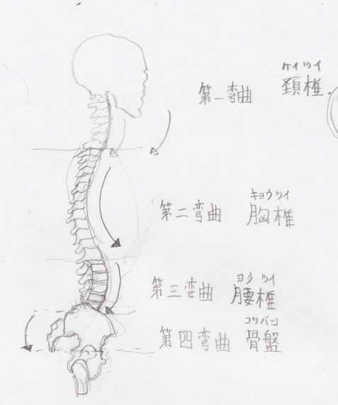 第4弯曲-:骨盤(ようつい)