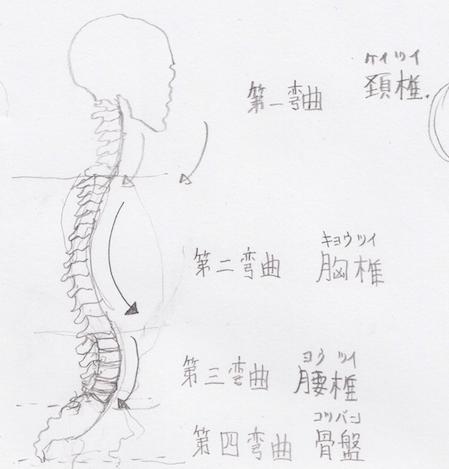 第三弯曲:腰椎