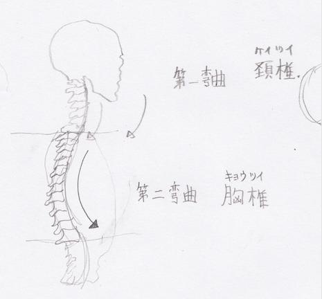 第二弯曲:胸椎