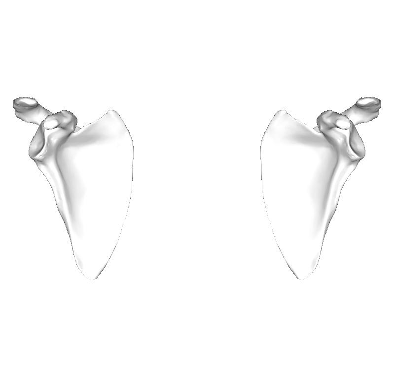 肩甲骨画像