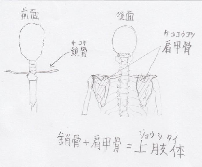 上肢:肩甲骨