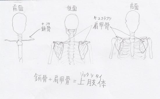 上肢:上肢帯