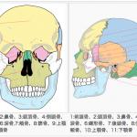 顔の立体性・割合(プロポーション)・法則に関する研究(第一回)