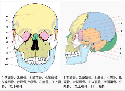 頭蓋骨 描き方
