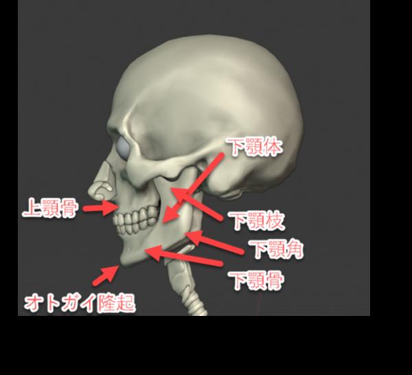 上顎骨(じょうがくこつ)、オトガイ隆起(りゅうき)、下顎骨(かがくこつ)、下顎体(かがくたい)、下顎角(かがくかく)、下顎枝(かがくし)