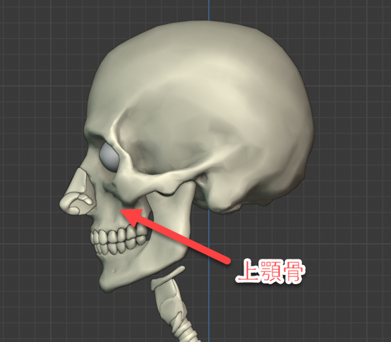 上顎骨側面