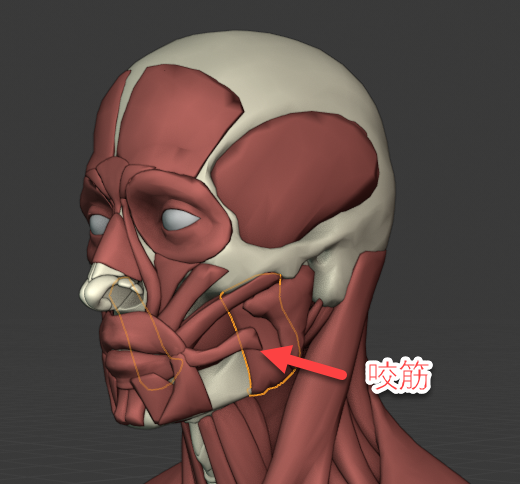 咬筋のイメージ(45°)