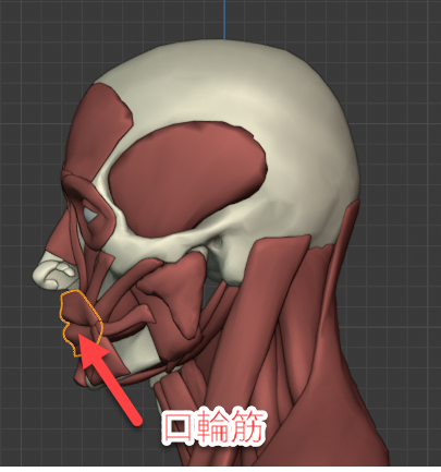 口輪筋の側面画像