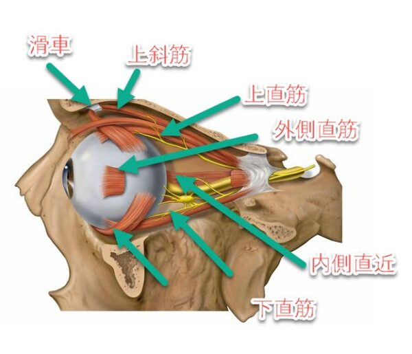 目玉の周りの筋肉