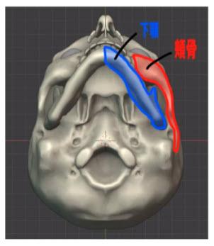 頬骨と下顎の関係