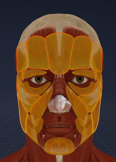 側頭窩周辺の脂肪(正面)